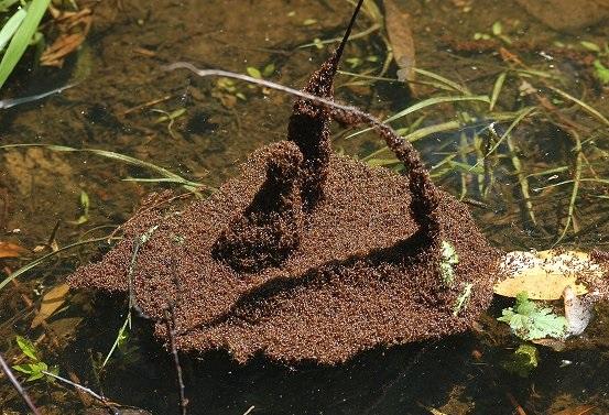 ateş karıncaları