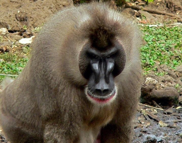dril maymun