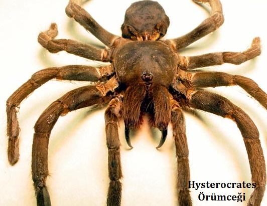 hysterocrates örümceği