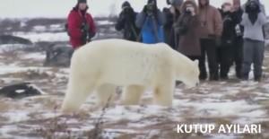kutup ayıları belgeseli