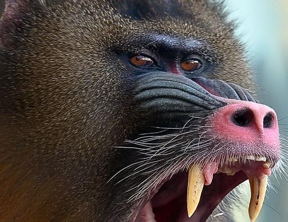 mandril maymunu