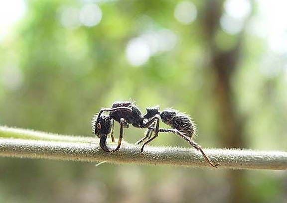mermi karıncası
