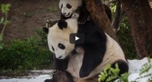 panda belgeseli