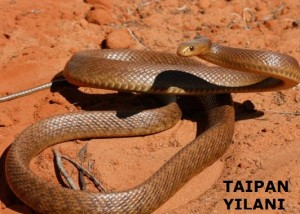 taipan yılanı