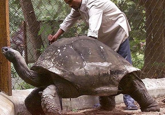Aldabra Dev Kaplumbağası