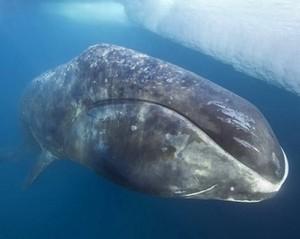 grönland balinası 1