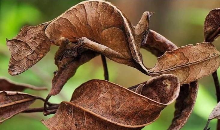 satanic leaf
