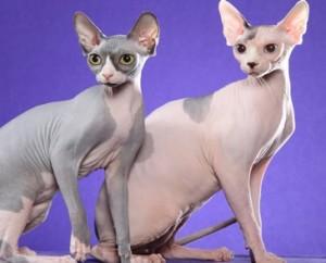 sfenks kedisi tüysüz kedi