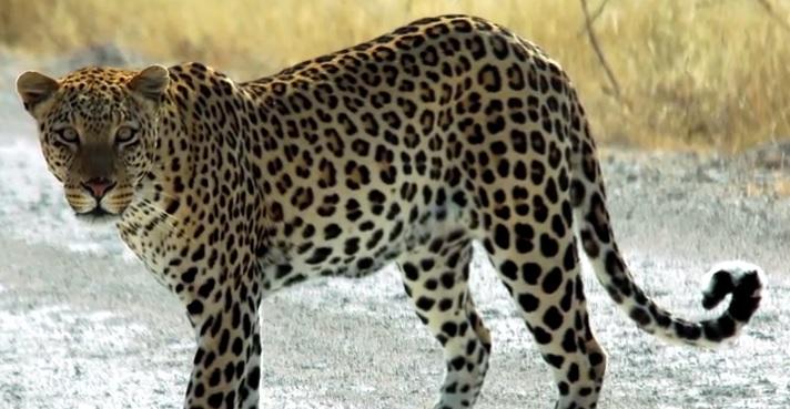 leopar resmi