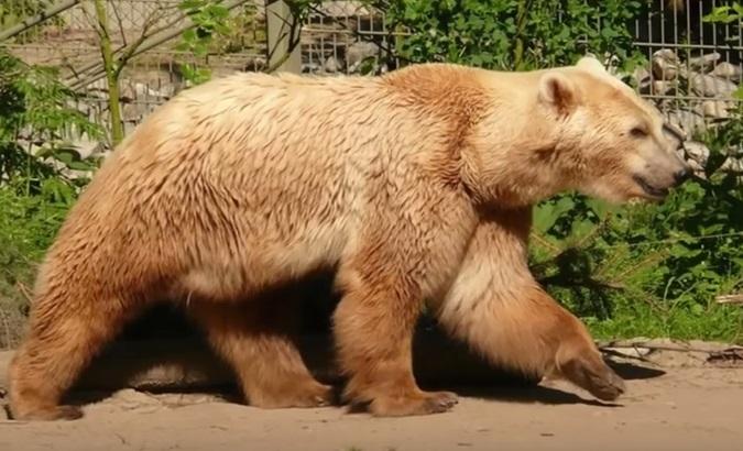 boz kutup ayısı