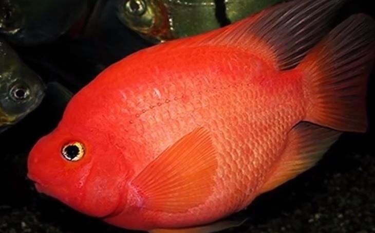 kan papağanı balığı