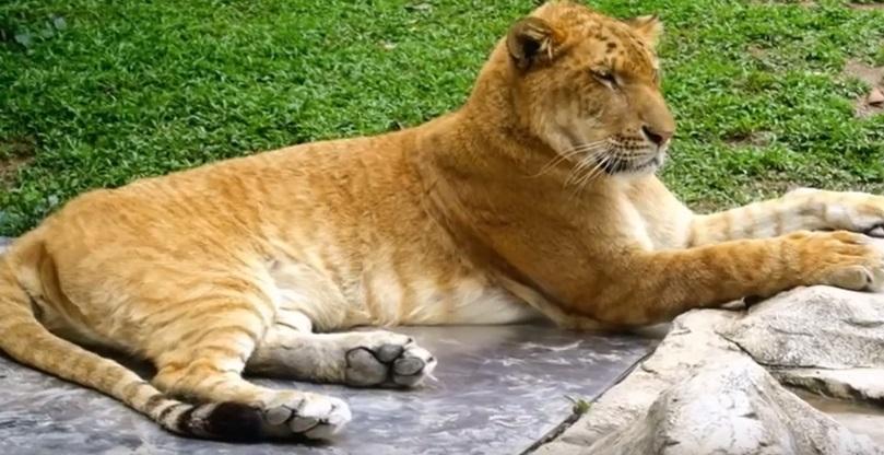 kaslan liger