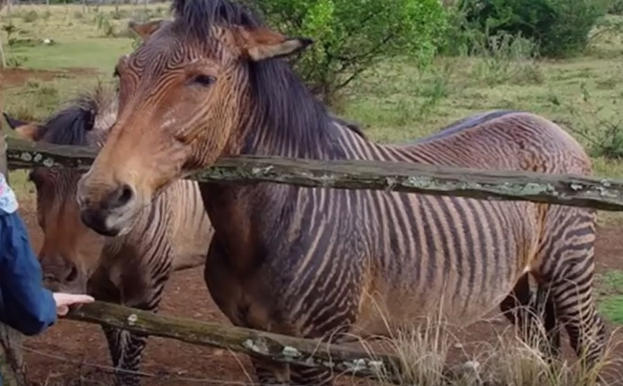 zebroid zebra ve at çiftleşmesi