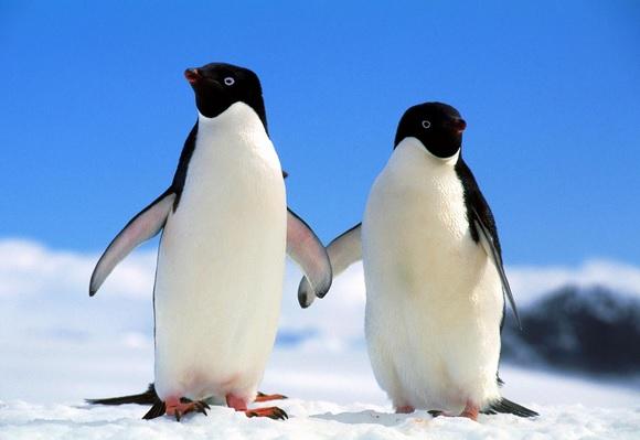 penguen dişi etkileme