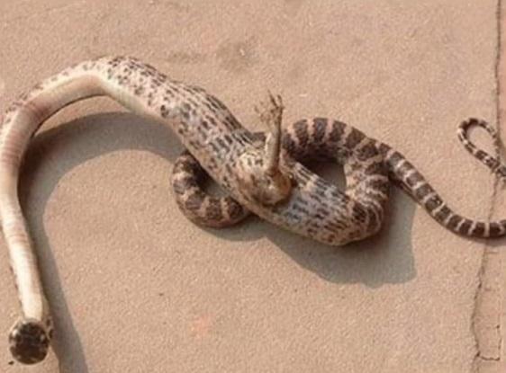 ayaklı yılan